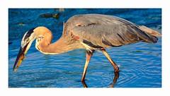 Great Blue Heron With Dinner (George McHenry Photography) Tags: birds shorebirds heron greatblueheron southcarolina southcarolinabirds huntingdonbeachstatepark
