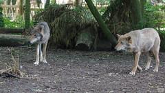 IMG_5455 (Roy Wolfe) Tags: 760d animal europe locationgeo locationtheme ukgreatbritain digitalcamera outdoor remark source zoo paradisewildlifepark wolf europeanwolf