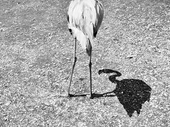 Flamingo (Demmer S) Tags: flamingo shadow nature outdoors flamingos flamingoes wadingbird phoenicopteridae creatures animals wildlife birding winged wings aves avian feathered feathers birdphotography birds bird animal birdwatcher wildlifephotography junglegardens outside gravel ground closeup close summer summertime bw monochrome blackwhite blackandwhite blackwhitephotos blackwhitephoto