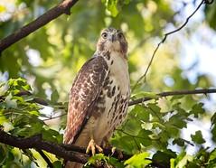 Immature red-tail (Goggla) Tags: rth hawk nyc new york east village tompkins square parkurban wildlife bird raptor red tail immature