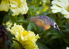 Hummingbird hawk-moth (hedera.baltica) Tags: moth hummingbirdhawkmoth ćma fruczakgołąbek dłużniecgwiaździk macroglossumstellatarum