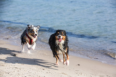 beach chase (Fotos aus OWL) Tags: meer ostsee aussie australianshepherd dog hund strand