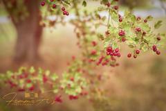 #Autumn (femmaryann) Tags: autumn autumnal berries red green tree bokeh leaves nature landscape