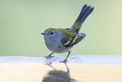 Chestnut-sided Warbler (X8A_5251-1) (Eric SF) Tags: chestnutsidedwarbler warbler