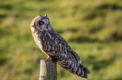 Short Eared Owl - (Asio flammeus) - 'Z' for zoom (hunt.keith27) Tags: talons bird feathers wings quartering asioflammeus shortearedowl owl eyes beautiful magnificent medium sized owls pale underwings yellow mammals especially voles animal canon grass somerset sigma post perched