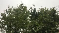 Field elm - crown - October 2018 (Exeter Trees UK) Tags: field elm crown october 2018