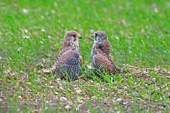 kestrel's (robin elliott photography) Tags: kestrel bird birdwatching birdwatch birds nature wild wildlife