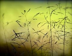 Green Haze (Edinburgh Photography) Tags: naturelandscapeoutdoors green grasses bokeh gosford house nikon d7000