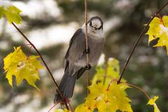 'Whisky Jack' - Grey Jay (Canadapt) Tags: bird autumn fall whiskyjack greyjay keefer canadapt