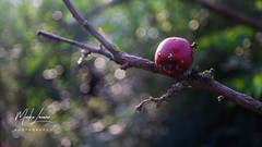 Nature is changing colours. (laske999) Tags: beauty basic red green bokeh grass nature tree fruit apple