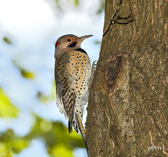 Northern Flicker (jt893x) Tags: 150600mm bird colaptesauratus d500 flicker jt893x male nikon nikond500 northernflicker sigma sigma150600mmf563dgoshsms woodpecker yelllowshafted thesunshinegroup coth alittlebeauty coth5 sunrays5
