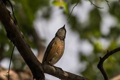 _D502606 (crispiks) Tags: nikon d500 70200 f28 barnawartha north east victoria birdlife
