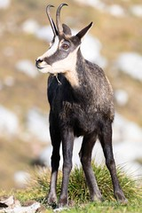 Chamois-Rupicapra rupicapra (PatNik01) Tags: chamois rupicaprarupicapra mammifere suisse ladole nikon