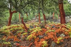 R18_0340 Cork oak wood (ronald groenendijk) Tags: cronaldgroenendijk 2018 rgflickrrg copyrightronaldgroenendijk corkoak extremadura kurkeik landscape nature natuur natuurfotografie oak outdoor spain spanje tree wood