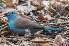 Blauastrild (Victoria-Fälle, Simbabwe) (naturgucker.de) Tags: ngidn1004625204 uraeginthusangolensis blauastrild
