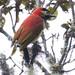Crimson-mantled Woodpecker, Colaptes rivolii 199A5745