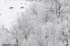 Canis lupus italicus (marco_colombo) Tags: lupo lupi wolf wolves apennines appennini appenninico wild italy italian italia pnalm parconazionaledabruzzo abruzzo natura nature trekking snow neve white highkey frost ghiaccio alba dawn pair coppia animali animals wildlife photography fotografia montagna encounters incontro marcocolombo wwwcalosomait nikon sigma magear