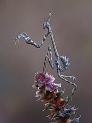 Ninfa Otoñal (Chusmaki) Tags: otoño empusa macro rivas insectos omd1 60mm