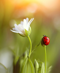 Stellaria (ElenAndreeva) Tags: ladybug insect bug garden amazing macro nature flower flora flowers light sun summer spring bokeh focus forest canon colors colorful sweet cute natural close up moscow beauty best green red adorable like likes andreeva