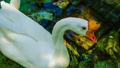 GANSO_SINALEIRO_CHINÊS_MACHO_JARDIM_ZOOLÓGICO_LISBOA_PORTUGAL (Anser cygnoides) (paulomarquesfotografia) Tags: ganso sinaleiro chinês macho jardim zoológico lisboa portugal anser cygnoides sony a230 sal75300mm paulo marques animais animal animals aves birds water agua lago lake detalhes details reflexos