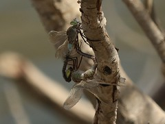 Lesser Emperor (Anax parthenope) Pair (Rezamink) Tags: anaxparthenope lesseremperor dragonflies uae odonata