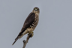 Merlin on a stick (Kevin E Fox) Tags: merlin bombayhookwildliferefuge bombayhook delaware sigma150600sport sigma nature nikond500 nikon birdofprey bird birding birdwatching birds