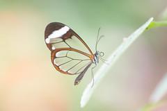 Greta oto (fabriciodo2) Tags: gretaoto papillon butterfly nature macro sigma150