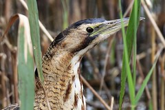 Bittern (Botaurus stellaris) Dungeness ARC Hanson (GrahamParryWildlife) Tags: grahamparrywildlife sigma 150600 sport 150 600 canon 7d mkii outdoor animal depth field mk2 uk kent rspb viewing photo new sunlight up blue dof kentwildlife dungeness bird heron reflected water waterfront bittern arc booming brown botaurus stellaris male grass landscape short sighted wood confident sociable