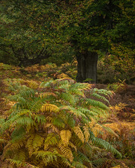 Burnham Beeches - 4 (J R Oliver) Tags: beech buckinghamshire burnhambeeches cityoflondon england nationalnaturereserve pollard pollards sssi tree trees wood braken autumn