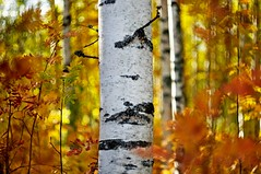 Birch (Stefano Rugolo) Tags: stefanorugolo pentax k5 pentaxk5 helios44258mmf2 helios442 helios tree birch forest autumn fall depthoffield bokeh colors light manualfocuslens manualfocus manual vintageprimelens vintagelens vintageprime hälsingland sweden sverige landscape textures tones foliage