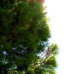 Pino - Pine tree