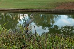 Blue Heron statue 1 NBG (Puddin Tain) Tags: norfolkbotanicalgarden norfolkvirginia statue animal bird great blue heron