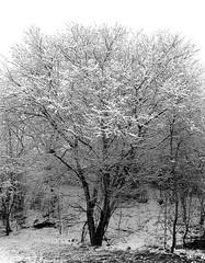Cherry plum in snow (cats_in_blue) Tags: cherryplum prunuscerasifera mirabel mirabelle tree snow