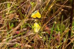 7K8A7577 (rpealit) Tags: scenery wildlife nature weldon brook management area orange sulphur butterfly