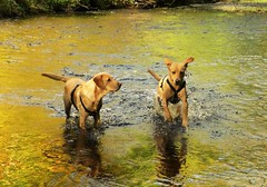 A Cold Dip..x (Lisa@Lethen) Tags: dogs labradors mother daughter family muckle burn lethen autumn reflections colours