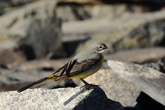 Grey Wagtail (Motacilla cinerea) - female (sdflickr2) Tags: greywagtail motacillacinerea female cropstonereservoir leicestershire october 2018