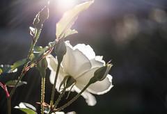Sun soaker (OzzRod) Tags: bokeh flower backlight flare rose white garden hamiltonsouth newcastle pentaxart smcpentaxdfa50mmf28macro k1 pentax