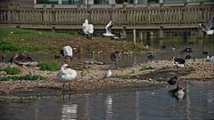 1508-07L (Lozarithm) Tags: slimbridge wwt swans k1 55300 hdpda55300mmf458edwr