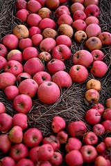 mele annurche (♥iana♥) Tags: vino uva grape vendemmia autunno autumn fall rosso red vite vigna grapevine montemarano avellino campania italia