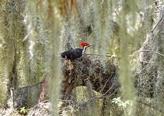 O2K_0539 (68photobug) Tags: 68photobug nikon d7000 sigma sg 150500mm picnicarea woodpecker bird pileated florida polkcounty