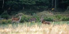 _DSC3926 (Patrick d'Alsace) Tags: france forêt faune cerfs alsace animaux