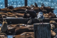 Birdy & The Beasts (Anna Kwa) Tags: pier39 sealions bokeh seagull birds beasts sanfrancisco fishermanwharf bayarea california usa annakwa nikon d750 7002000mmf28 my always seeing heart soul throughmylens feelgood michaelbublé life jouney destiny fate travel world