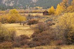 Scenic barn at Twin Lakes, CO (MiriamPoling) Tags: barn twinlakes colorado fall yellow aspens autumn scenic pond
