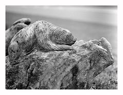 sculpture (rcfed) Tags: hasselblad mediumformat film trix tanol development sculpture elephant depth field monochrome