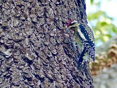 Yellow-bellied Sapsucker (Sphyrapicus varius) (WRFred) Tags: bird backyardwildlife nature wildlife washingtonwestquad woodpecker maryland montgomerycounty tree