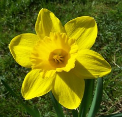 Delightful Daffodil (ERIK THE CAT Struggling to keep up) Tags: garden daffodil flowers stafford ngc npc doublefantasy