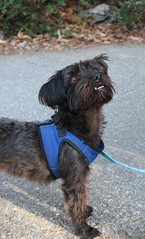 Cocoa (Webfoot5) Tags: dog dogs dogsonwalks dogzonwalkz yorkiepoo