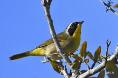 Common Yellowthroat (jt893x) Tags: 150600mm bird commonyellowthroat d500 geothlypistrichas jt893x male nikon nikond500 sigma sigma150600mmf563dgoshsms songbird warbler yellowthroat thesunshinegroup coth coth5 alittlebeauty