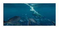 Great White (rehniz) Tags: shark great white sea fish attack