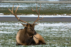It's a tough job (ChicagoBob46) Tags: bullelk elk rut yellowstone yellowstonenationalpark nature wildlife coth5 ngc naturethroughthelens npc